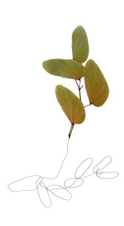 Dibujos sobre papel y plantas secas. Serie Especies Asociadas. Lápiz y plantas sobre papel, 2014.