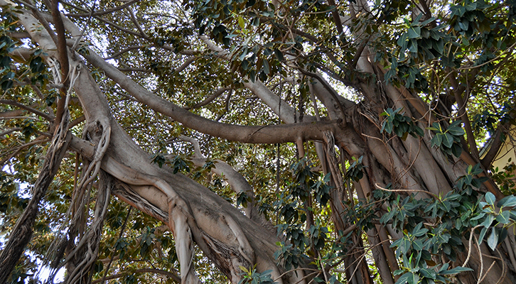 Ficus de la plaça del Centenar de la Ploma, València, autor Joanbanjo.